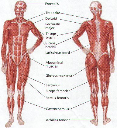 Major Muscles of the Human Body - Welcome
